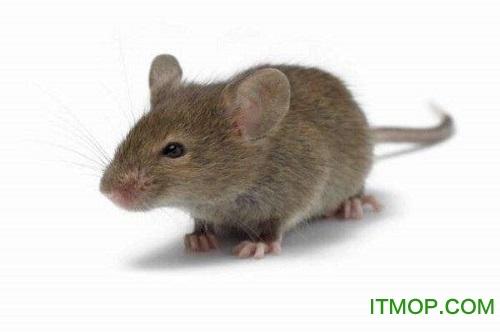 老鼠死前惨叫声MP3 免费版 0
