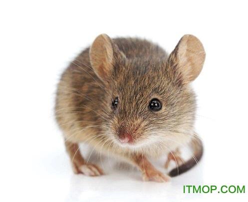 老鼠惨死叫声mp3
