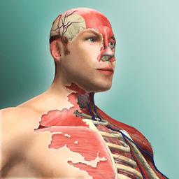 放置人体模型